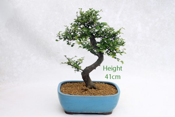 Chinese Elm Bonsai Tree Number 556 available to buy online from All Things Bonsai Sheffield Yorkshire with free UK delivery