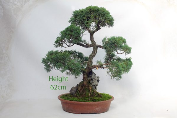 Chinese Juniper Bonsai Tree On Rock available to buy from All Things Bonsai Sheffield Yorkshire UK