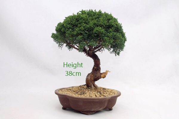 Chinese Juniper Bonsai Tree Number 421 available to buy online from All Things Bonsai Sheffield Yorkshire with free UK delivery
