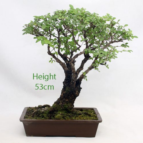 Cork Bark Chinese Elm Bonsai Tree Number 416