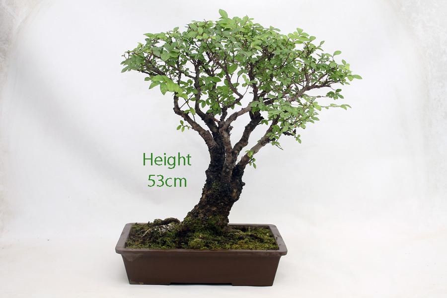 Cork Bark Chinese Elm Bonsai Tree Number 416 All Things Bonsai