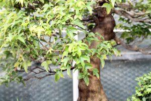 Trident Maple Bonsai Tree Leaves