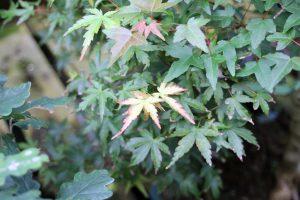 Japanese Maple Bonsai Tree Leaves