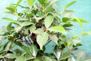 Ficus Bonsai Tree Leaves