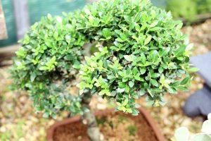 Japanese Holly Bonsai Tree Leaves