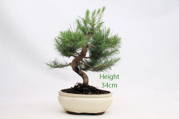Aleppo Pine Bonsai Tree Number 719 available to buy online from All Things Bonsai Sheffield Yorkshire with free UK delivery