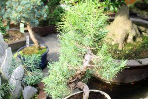 Pinus Halpensis Aleppo Pine Bonsai Tree Leaves