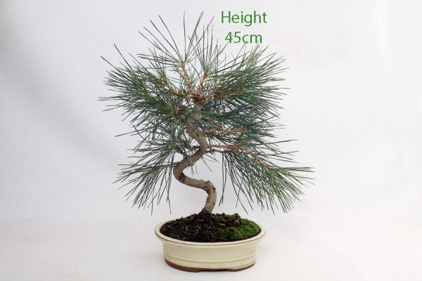 Black Pine Bonsai Tree Pinus Thunbergii Number 268 available to buy online from All Things Bonsai Sheffield Yorkshire with free UK delivery