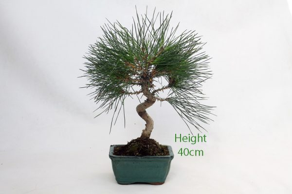 Black Pine Bonsai Tree Pinus Thunbergii Number 481 available to buy online from All Things Bonsai Sheffield Yorkshire with free UK delivery