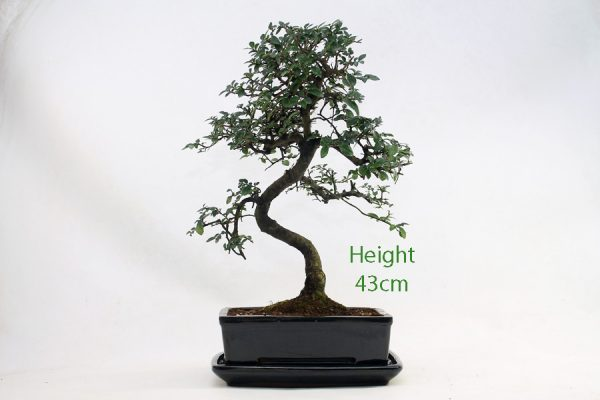Chinese Elm Bonsai Tree Number 1006 available to buy online from All Things Bonsai Sheffield Yorkshire with free UK delivery