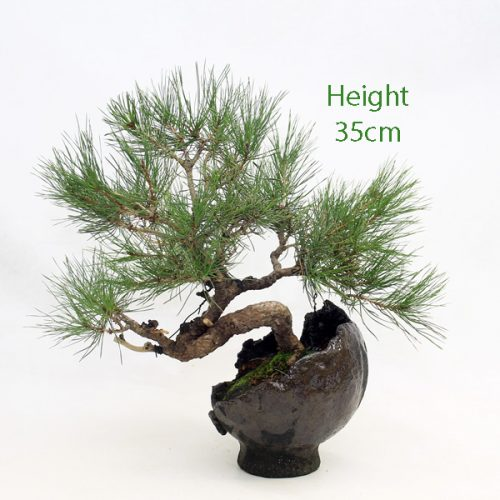 Japanese Red Pine Bonsai Tree Number 610 available to buy from All Things Bonsai Sheffield Yorkshire