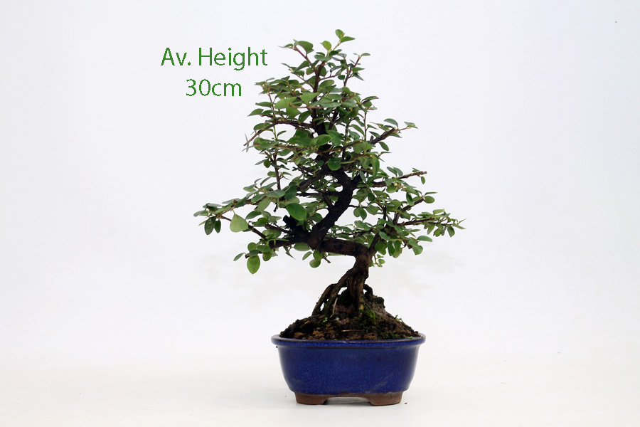 Cotoneaster Flowering Bonsai Tree All Things Bonsai