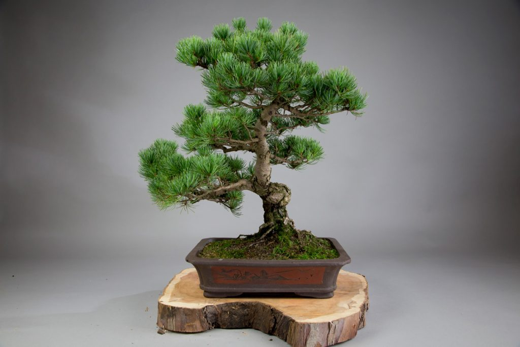 White Pines like this one don't back bud easily but still make great bonsai