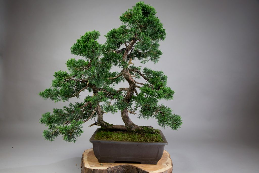 A Juniper bonsai tree with scale-like leaves.