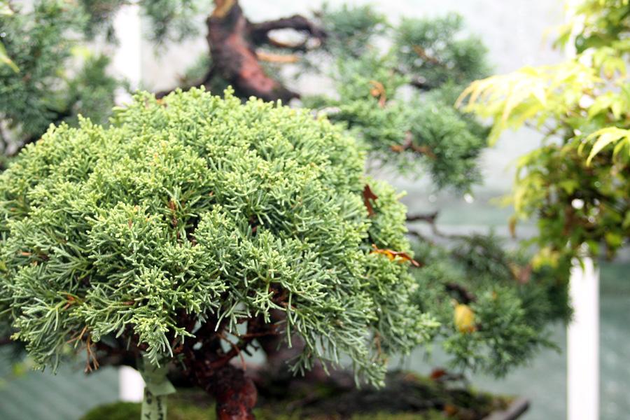 Chinese Juniper Bonsai Tree Care All Things Bonsai