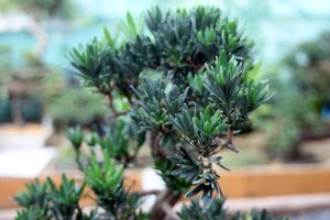 Podocarpus Buddhist Pine Bonsai Tree