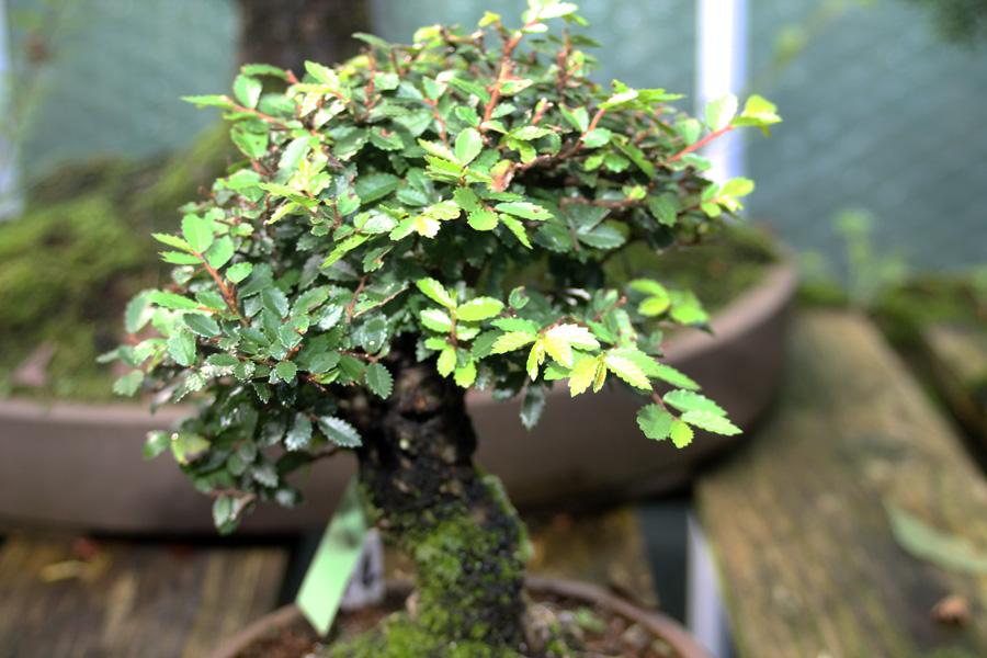 Chinese Elm Bonsai Tree Care Guide All Things Bonsai