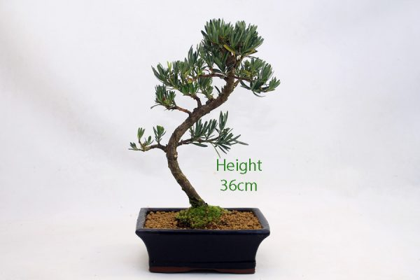 Buddhist Pine Podocarpus Bonsai Tree Number 548 available to buy online from All Things Bonsai Sheffield Yorkshire with free UK delivery