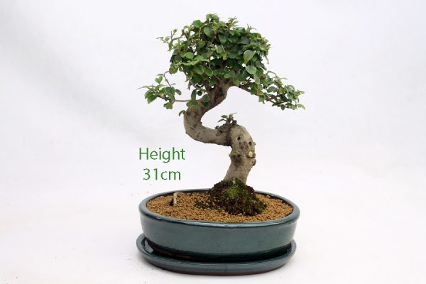 Ligustrum Bonsai Tree Number 266 available to buy online from All Things Bonsai Sheffield Yorkshire with free UK delivery