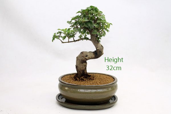 Ligustrum Bonsai Tree Number 762 available to buy online from All Things Bonsai Sheffield Yorkshire with free UK delivery