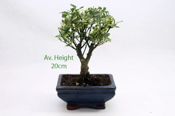 Variegated Ligustrum Bonsai Tree Mini available to buy online from All Things Bonsai Sheffield Yorkshire with free UK delivery