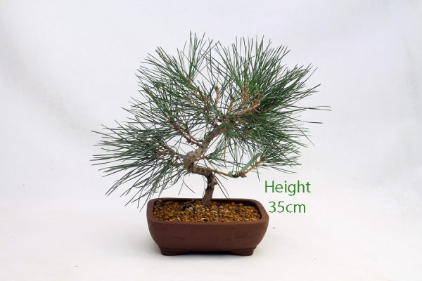 Black Pine Bonsai Tree Pinus Thunbergii Number 404 available to buy online from All Things Bonsai Sheffield Yorkshire with free UK delivery