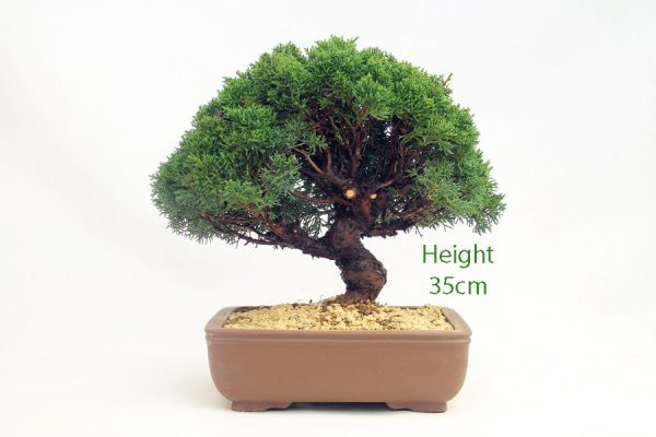 Chinese Juniper Bonsai Tree Number 266 available to buy online from All Things Bonsai Sheffield Yorkshire with free UK delivery