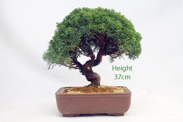 Chinese Juniper Bonsai Tree Number 522 available to buy online from All Things Bonsai Sheffield Yorkshire with free UK delivery