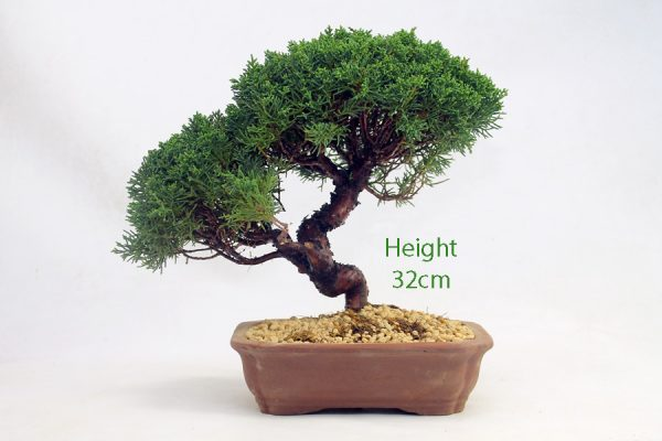 Chinese Juniper Bonsai Tree Number 406 available to buy online from All Things Bonsai Sheffield Yorkshire with free UK delivery