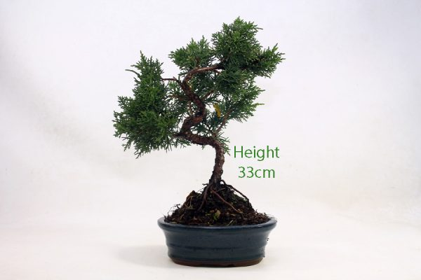 Chinese Juniper Part Trained Bonsai Number 650 available to buy online from All Things Bonsai Sheffield Yorkshire with free UK delivery