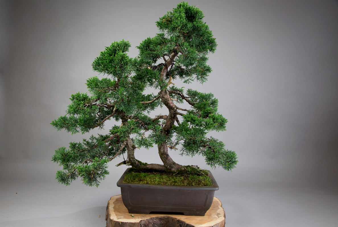 What Is The Best Bonsai Tree For Beginners All Things Bonsai