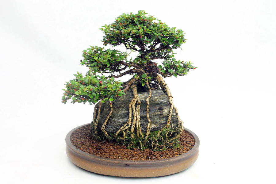 Small leaves, flowers and berries make Cotoneaster a good choice for beginners to bonsai