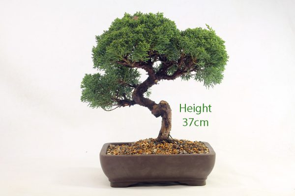Chinese Juniper Bonsai Tree Number 454 available to buy online from All Things Bonsai Sheffield Yorkshire with free UK delivery