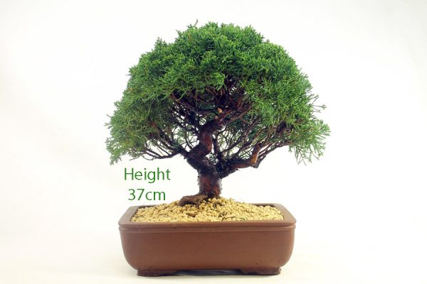 Chinese Juniper Bonsai Tree Number 478 available to buy online from All Things Bonsai Sheffield Yorkshire with free UK delivery