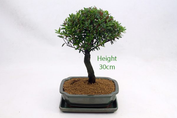 Syzygium Flowering Bonsai Tree Number 318 available to buy online from All Things Bonsai Sheffield Yorkshire with free UK delivery