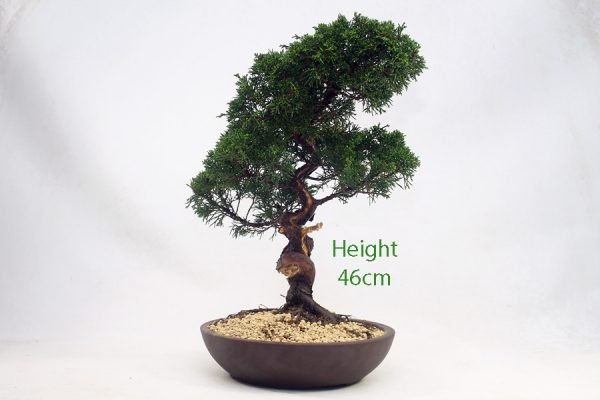 Chinese Juniper Bonsai Tree Number 660 available to buy online from All Things Bonsai Sheffield Yorkshire with free UK delivery