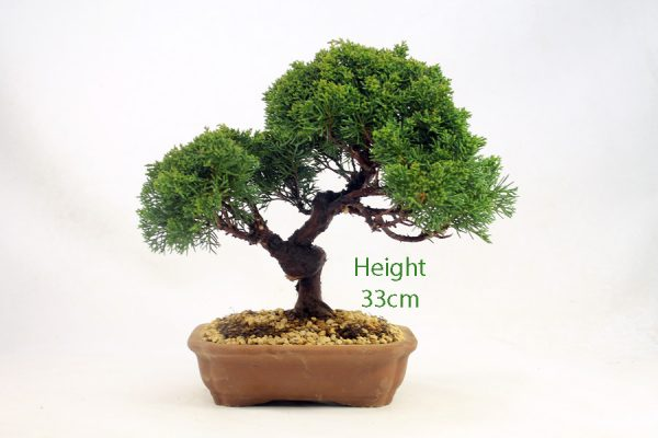 Chinese Juniper Bonsai Tree Number 562 available to buy online from All Things Bonsai Sheffield Yorkshire with free UK delivery