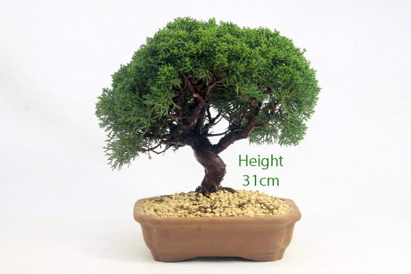 Chinese Juniper Bonsai Tree Number 439 available to buy online from All Things Bonsai Sheffield Yorkshire with free UK delivery