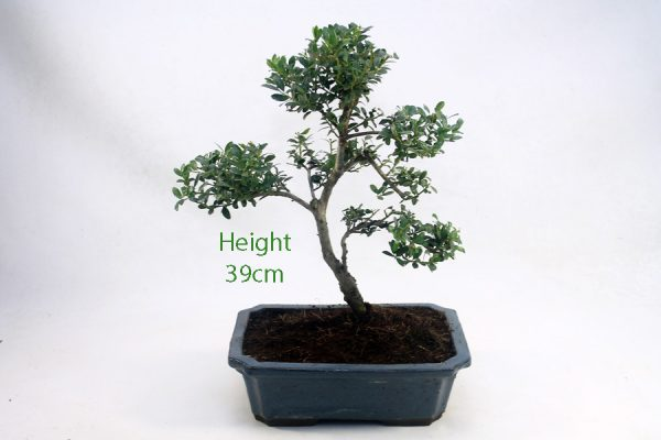 Japanese Holly Ilex Flowering Bonsai Tree Number 544 available to buy online from All Things Bonsai Sheffield Yorkshire with free UK delivery