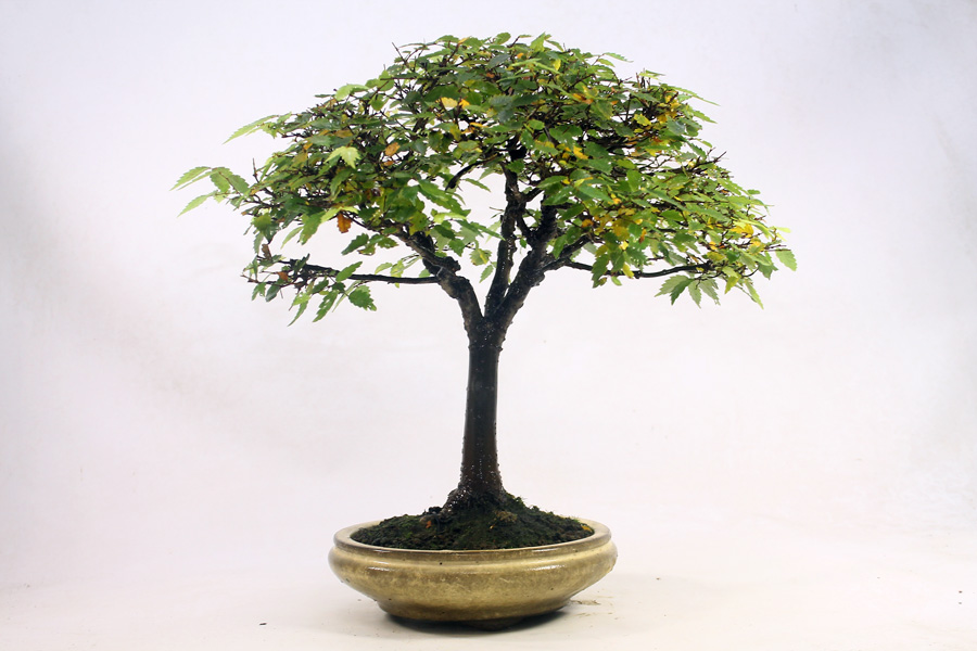 How much do bonsai trees cost? A Broom-Style Zelkova bonsai tree. Although quite slender, it is over 25 years old. The branch structure is very good. The Pot is also old and suits the tree well. This makes it a more expensive bonsai tree even though it isn't massive at a height of 32cm.