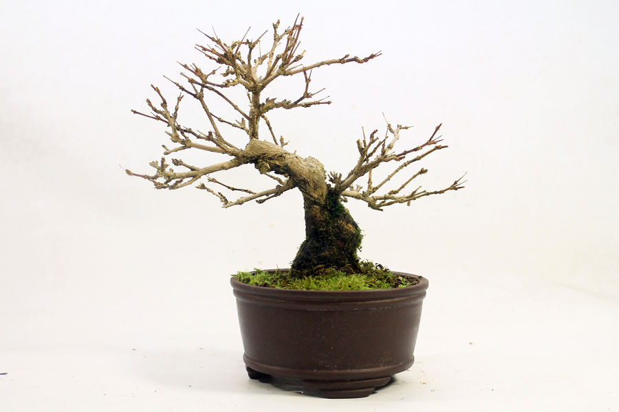 How much do bonsai trees cost? Musk Maples are not frequently seen in the UK. The novelty factor increases price a little. This tiny tree is 15cm tall but with a thick trunk and nice pot is already increasing in value. I will continue to improve the branch structure in the coming years through careful pruning.
