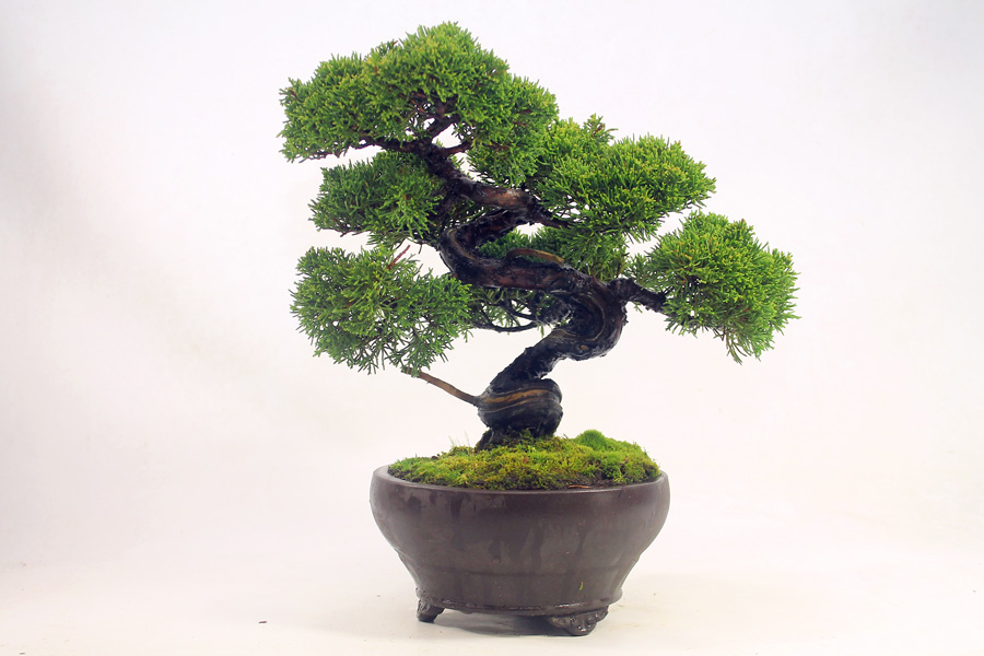 This Juniper is from Japan. It is old, has great branch structure, an attractive curving trunk and is in brilliant health. It has been in training for many years. Factors such as this make it an expensive tree. Height 26cm.