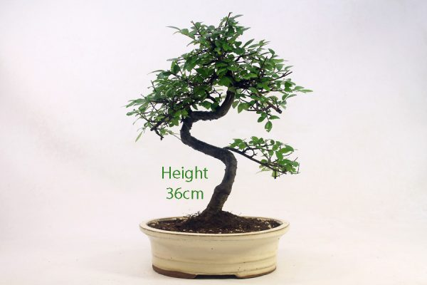 Chinese Elm Bonsai Tree Number 655 available to buy online from All Things Bonsai Sheffield Yorkshire with free UK delivery