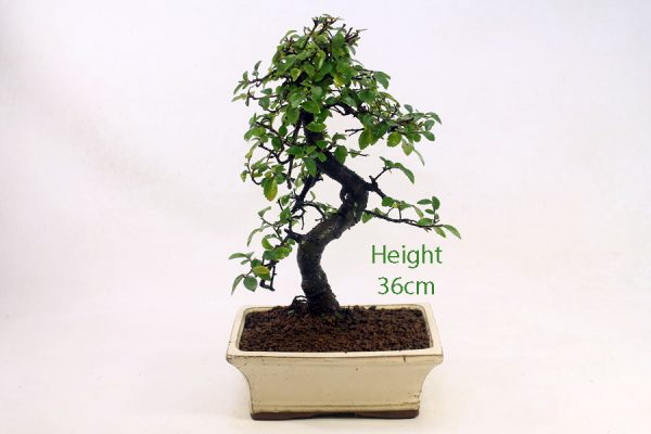 Chinese Elm Bonsai Tree Number 447 available to buy online from All Things Bonsai Sheffield Yorkshire with free UK delivery