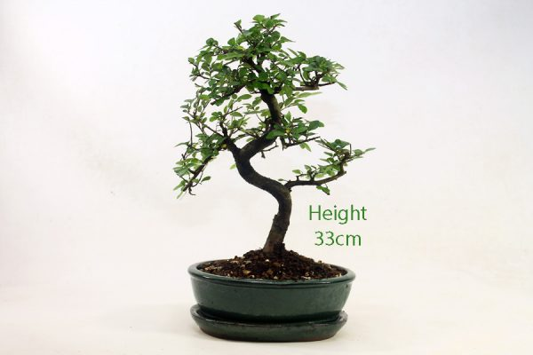 Chinese Elm Bonsai Tree Number 537 available to buy online from All Things Bonsai Sheffield Yorkshire with free UK delivery
