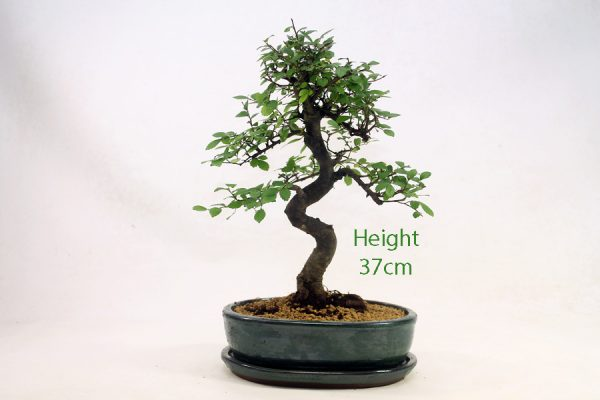 Chinese Elm Bonsai Tree Number 461 available to buy online from All Things Bonsai Sheffield Yorkshire with free UK delivery