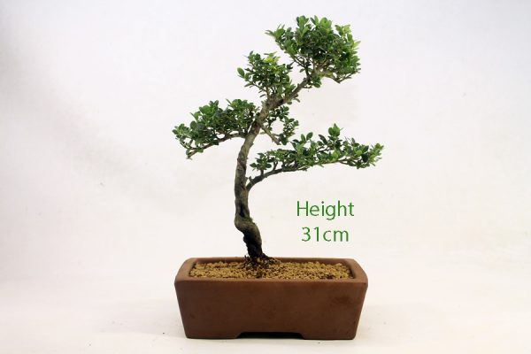 Japanese Holly Ilex Flowering Bonsai Tree Number 569 available to buy online from All Things Bonsai Sheffield Yorkshire with free UK delivery