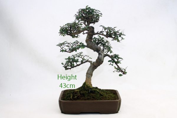 Chinese Elm Bonsai Tree Number 496 available to buy online from All Things Bonsai Sheffield Yorkshire with free UK delivery