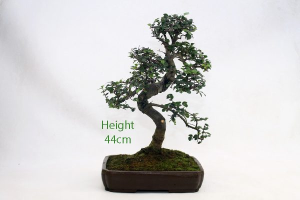 Chinese Elm Bonsai Tree Number 579 available to buy online from All Things Bonsai Sheffield Yorkshire with free UK delivery