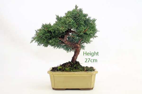 Chinese Juniper Bonsai Tree Number 571 available to buy online from All Things Bonsai Sheffield Yorkshire with free UK delivery